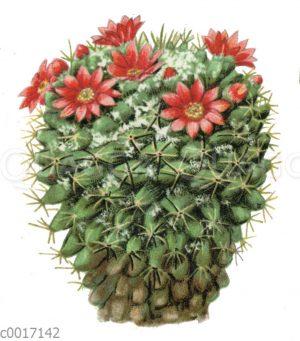 Mammillaria centricirrha