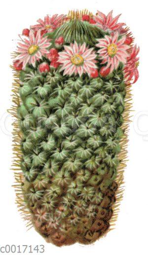 Mammillaria coronaria