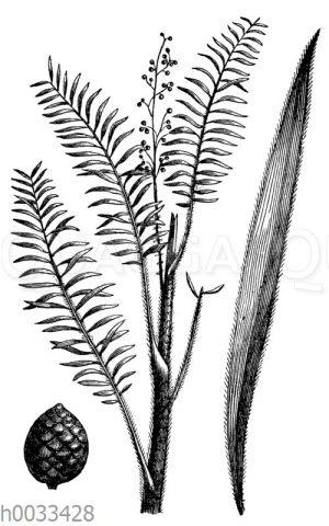 Drachenblutpalme