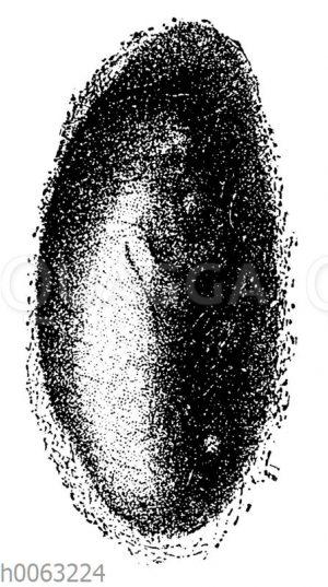 Seidenspinner