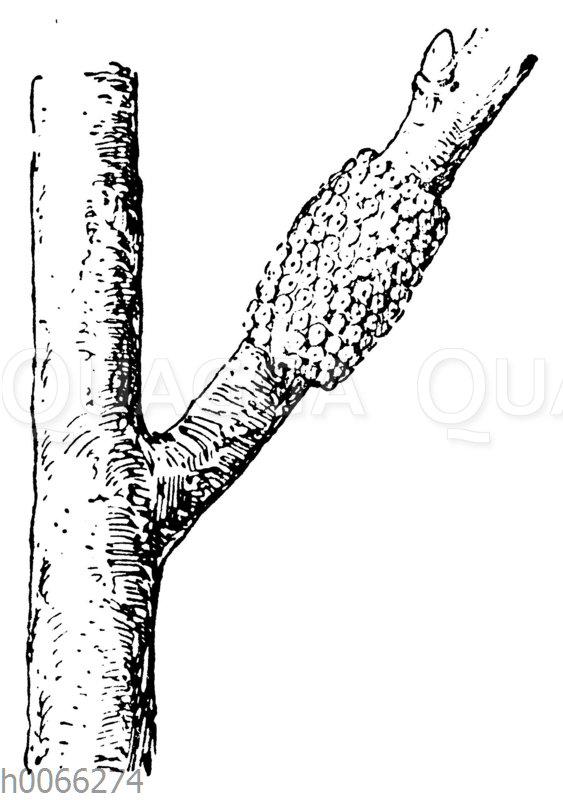 Eier des Ringelspinners an einem Zweig
