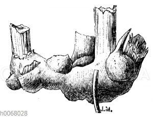 Getelte Cannawurzel mit mehreren Knollen