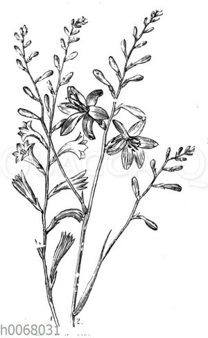 Montbretienblüten