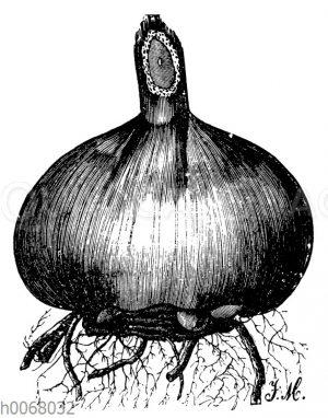 Gladiolenzwiebel