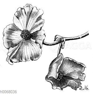 Einfache Knollenbegonienblüten
