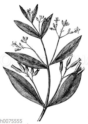 Blütenzweig des Fieberrindenbaums