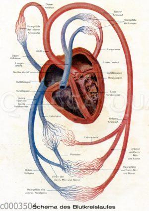 Schema des Blutkreislaufs beim Menschen