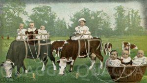 Babys trinken Milch aus Schläuchen direkt von Kühen
