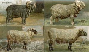 Schafrassen: Negretti-Schaf
