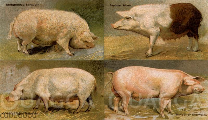Hausschweinerassen
