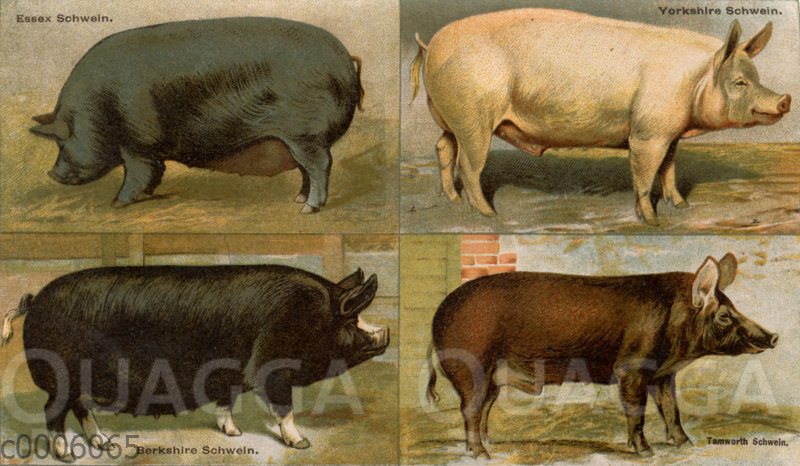 Hausschweinerassen: Essex Schwein