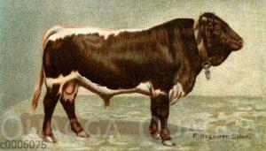 Pinzgauer Rind