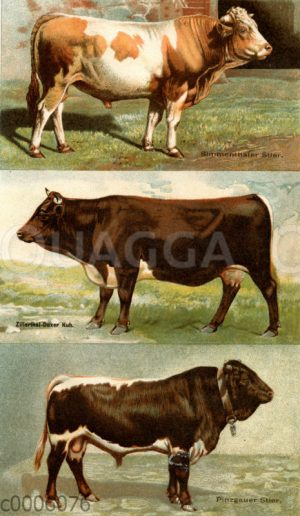 Rinderrassen: Simmentaler Stier