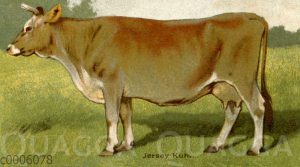 Jersey-Rind