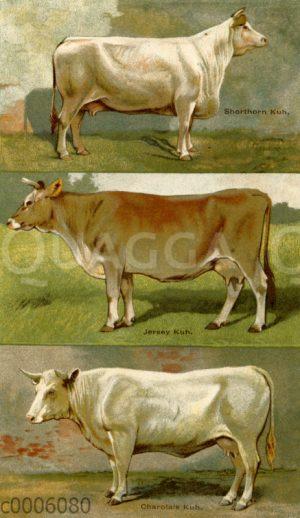 Rinderrassen: Shorthorn-Kuh