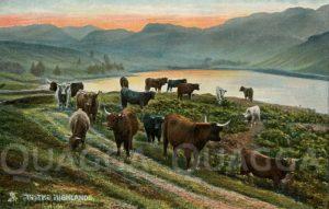 Rinder im Schottischen Hochland