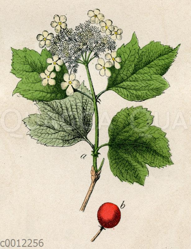 Schneeballbaum