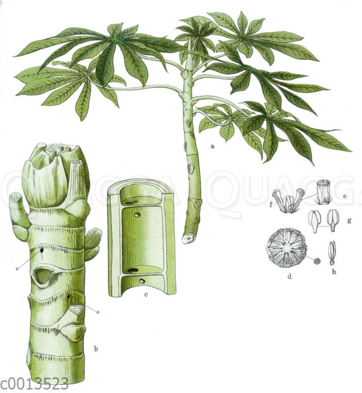 Ameisenbaum