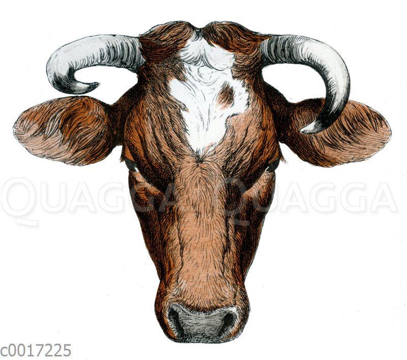 Süd-Dithmarscher Kuh