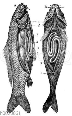 Karpfen: Innere Organe