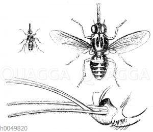 Tsetse-Fliege in natürlicher Größe und vergrößerter Saugrüssel