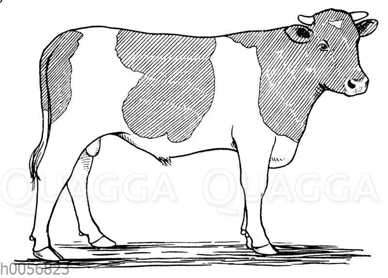 Rinder: Zeichnung von Jungtieren