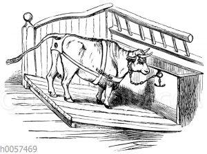 Methode zur Verhütung des Gebärmuttervorfalls bei einer Kuh