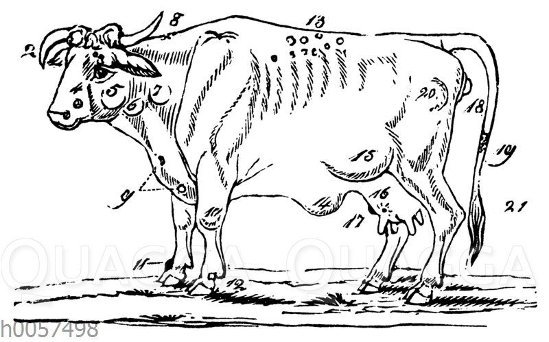 Darstellung der äußeren Fehler eines Rindes