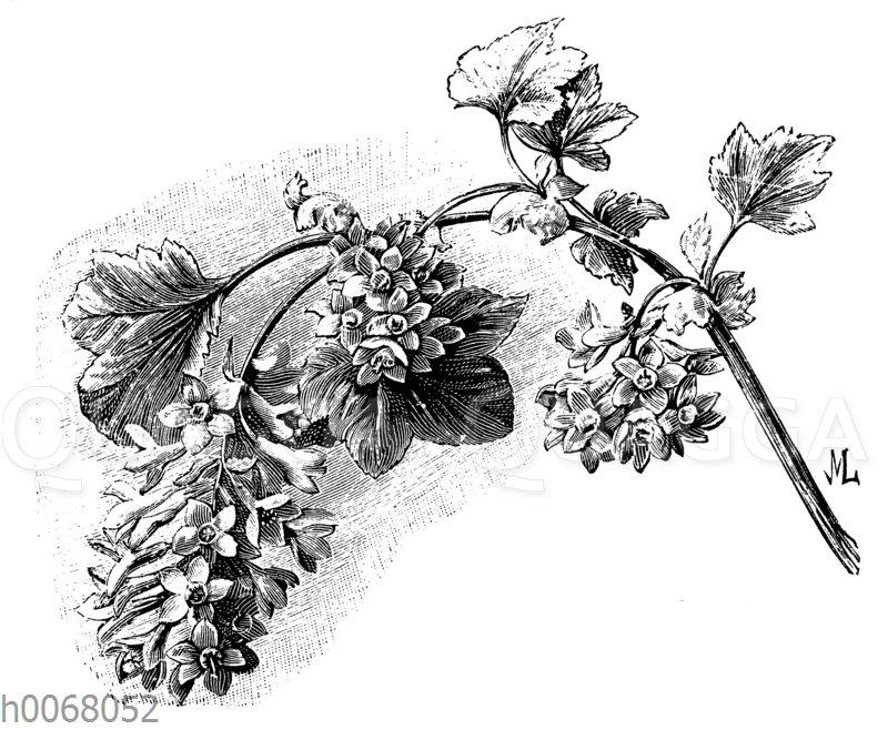 Schönblühende Johannisbeere