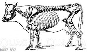 Skelett einer bretonischen Kuh