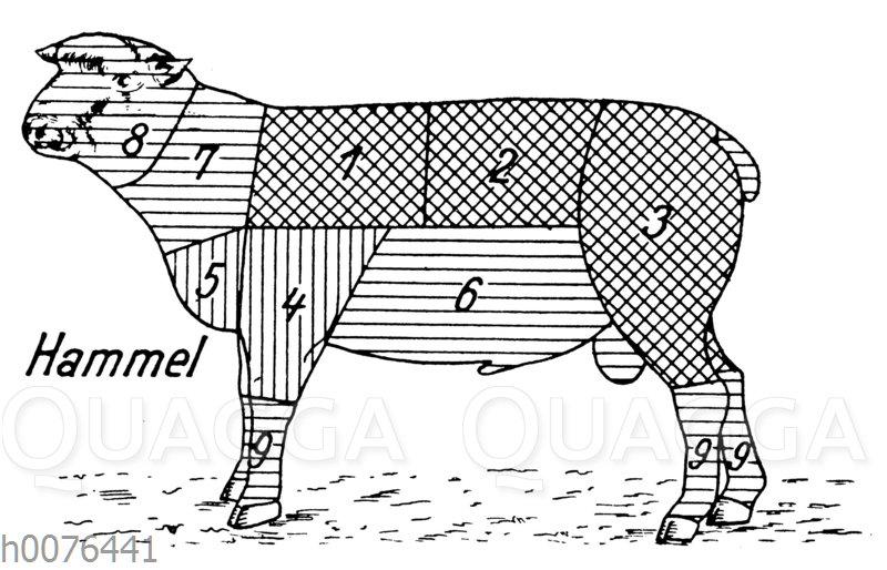 Fleischeinteilung und Fleischqualität beim Hammel