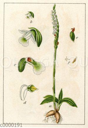 Herbst-Schraubenblume