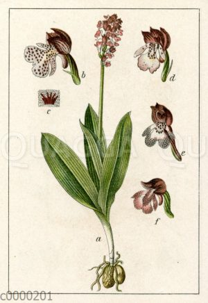Dunkelrote Orchis