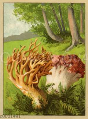 Trauben-Korallenpilz (a)