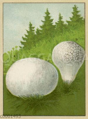 Eierbovist (links) und Hasen-Stäubling (rechts)