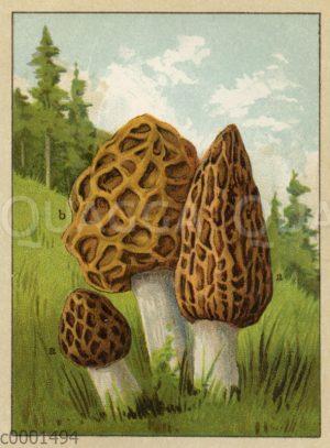 Spitzmorchel  (a) und Speisemorchel (b)
