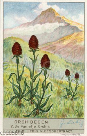 Vanielje Orchis - Vanille-Orchidee