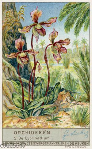 Cypripedium - Frauenschuh-Orchidee