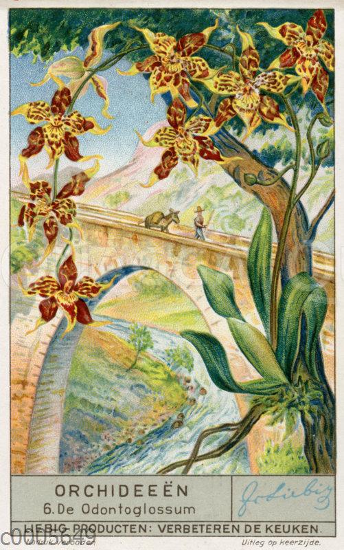 Odontoglossum-Orchidee