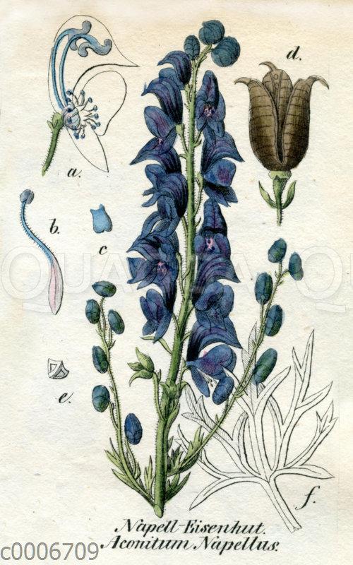 Blauer Eisenhut