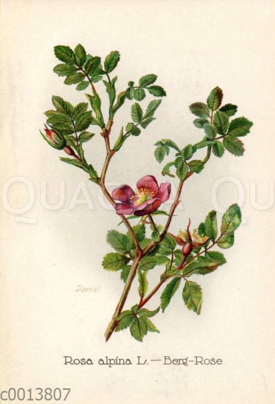 Berg-Rose