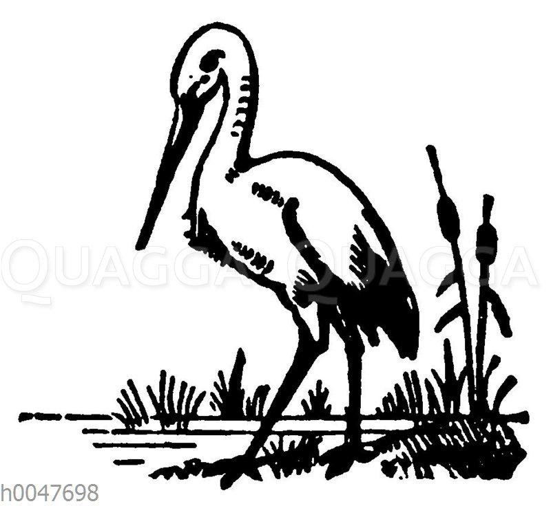 Vignette: Storch
