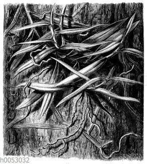 Sarcanthus rostratus: Brandförmig werdene Luftwurzeln