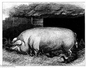 Hausschwein: Große englische weiße Rasse