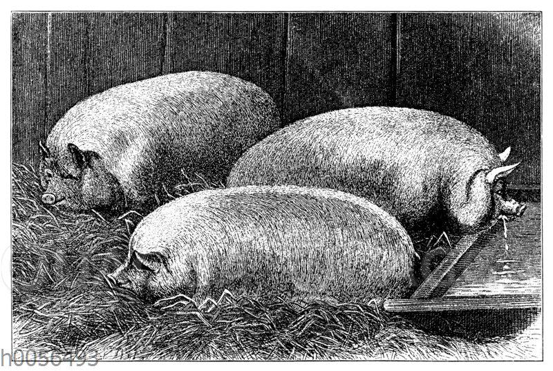 Hausschwein: Kleine englische weiße Rasse