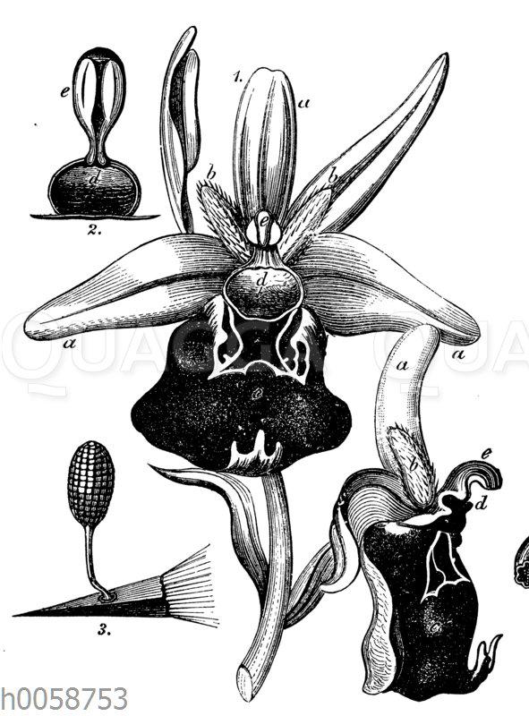 Spinnen-Ragwurz