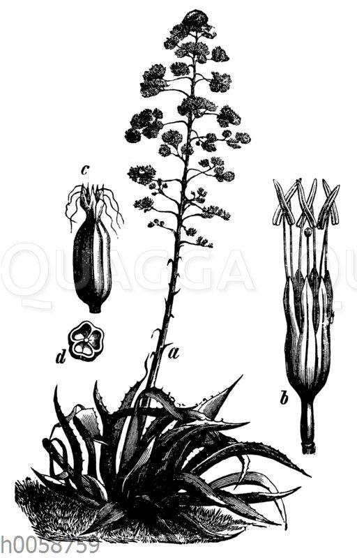 Agave a ganze Pflanze