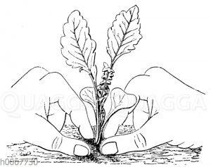 Festdrücken der Jungpflanzen beim Anpflanzen