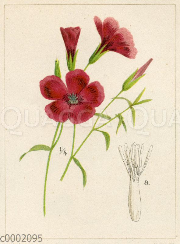 Linum grandiflorum f. rubrum