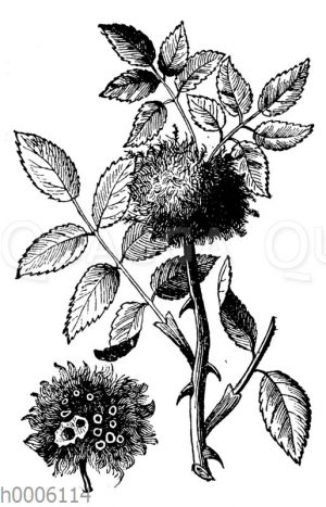 Rosengalläpfel